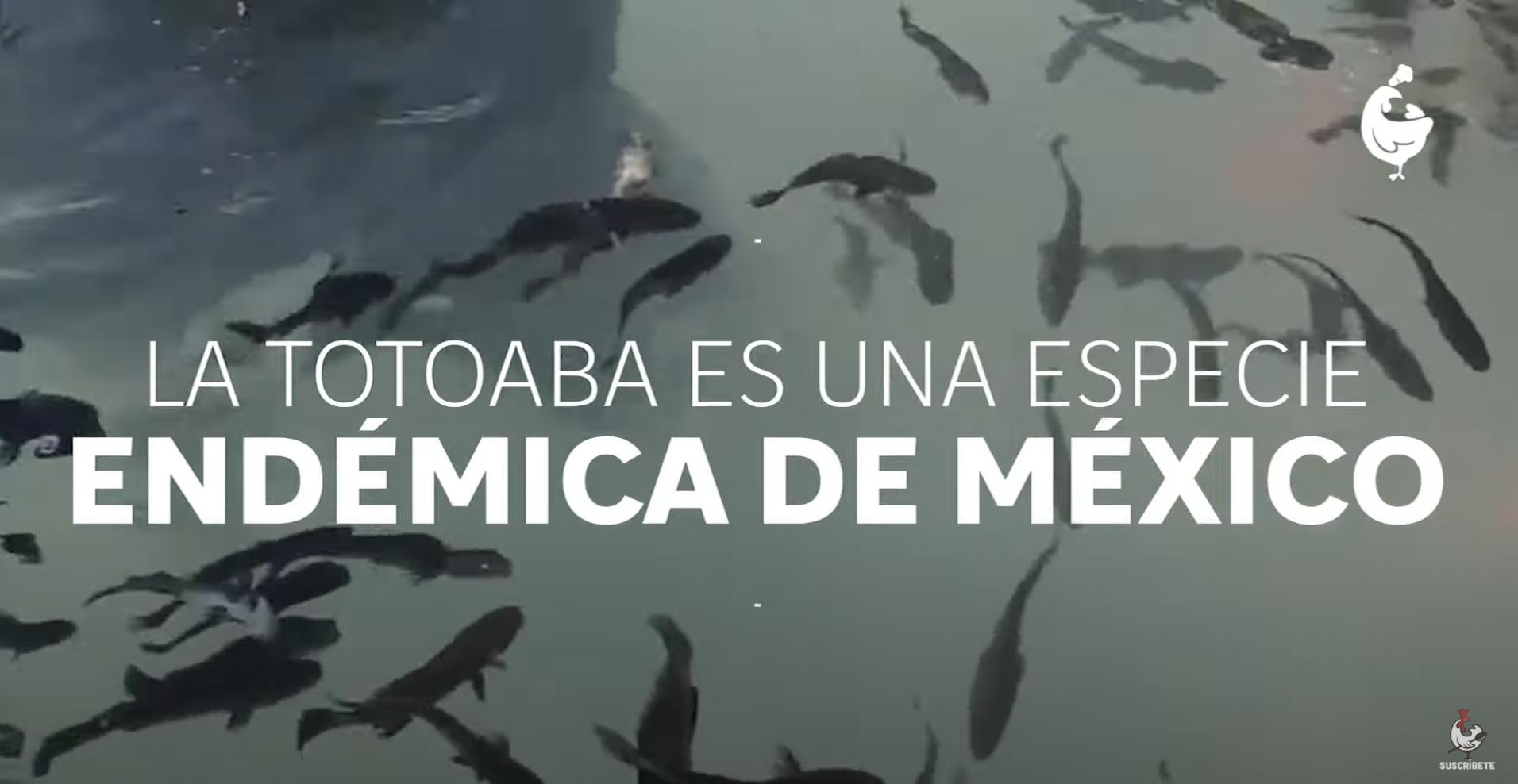 Totoaba: aunque no lo creas, un pescado legal y muy mexicano.